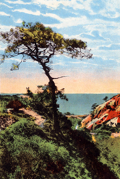 Postcard of a Torrey Pine, 1925